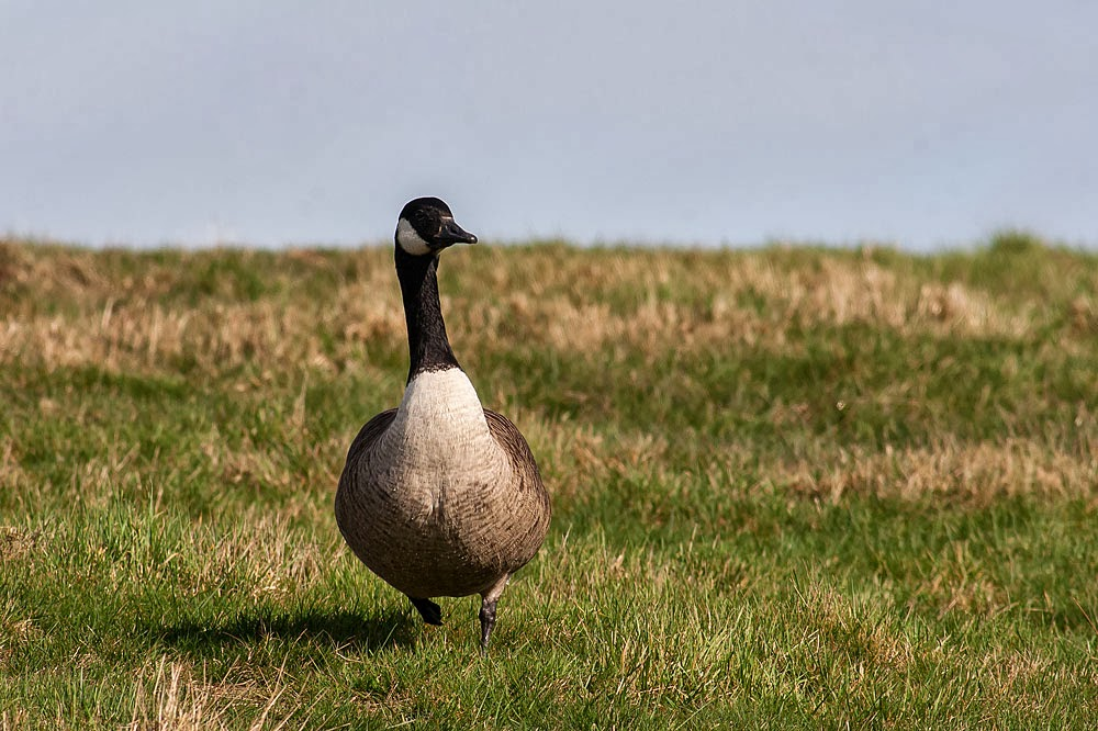 Canada Goose, Lodge Lake, Milton Keynes - Monday 24th wildlife walk around Lodge Lake Milton Keynes