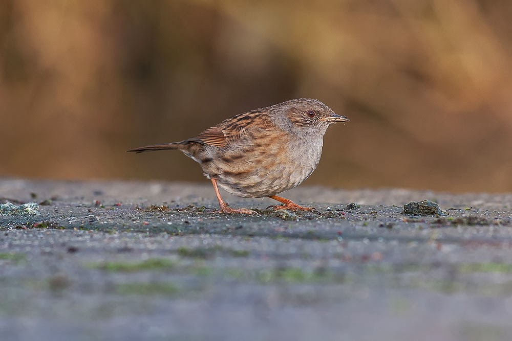 January review - Dunnock (Hedge accentor) feeding on scattered seed