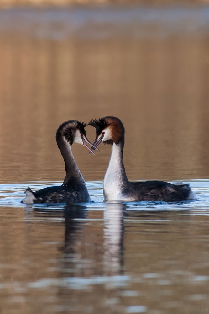 Dancing Grebes Lodge lake, Milton Keynes