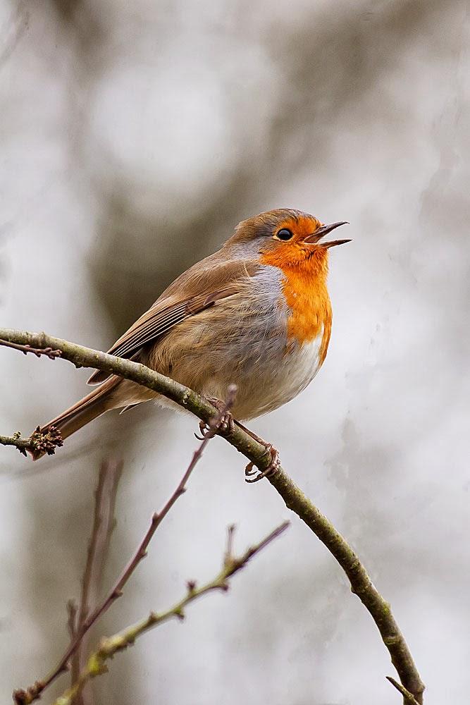 Singing Robin, Loughton Valley Park, Milton Keynes