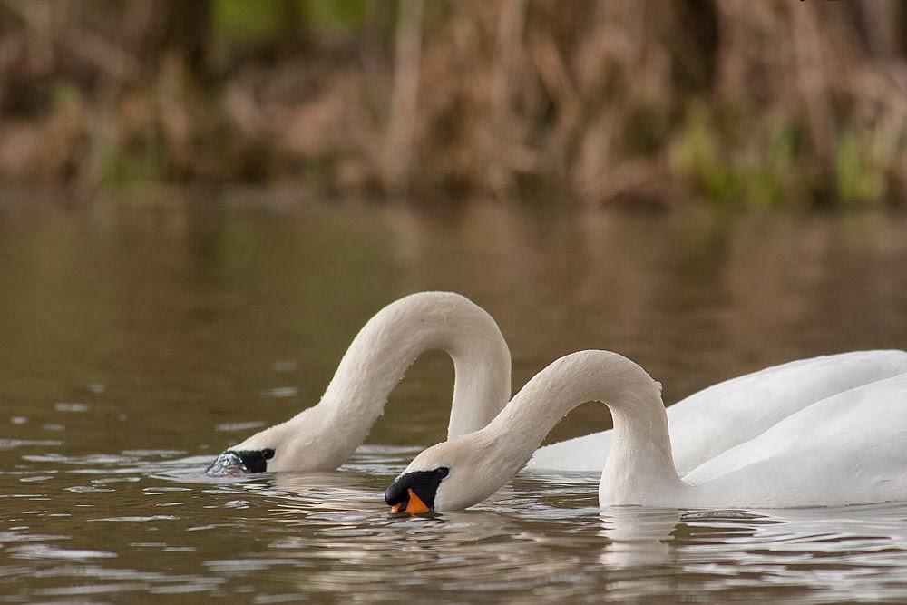 Synchronised Mute Swan dancing (3rd pose), Lodge Lake, Milton Keynes