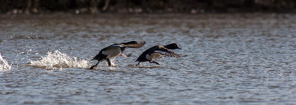 Tufted Ducks in flight, Lodge Lake, Milton Keynes