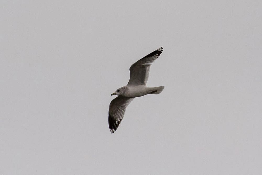 Common Gull Lodge Lake, Milton Keynes