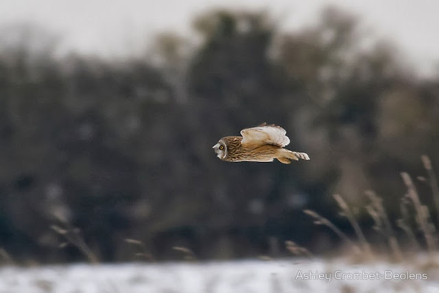 Short-eared owl, Linford Nature Reserve