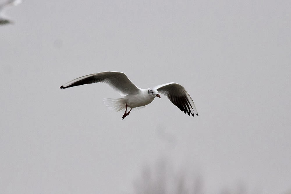 Black-Headed Gull in flight - Lodge Lake, Milton Keynes