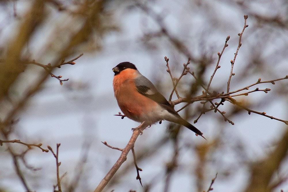 Bullfinch, Male, Loughton Valley Park, Milton Keynes
