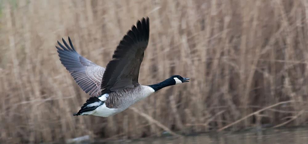 Canada Goose in flight, Lodge Lake, Milton Keynes