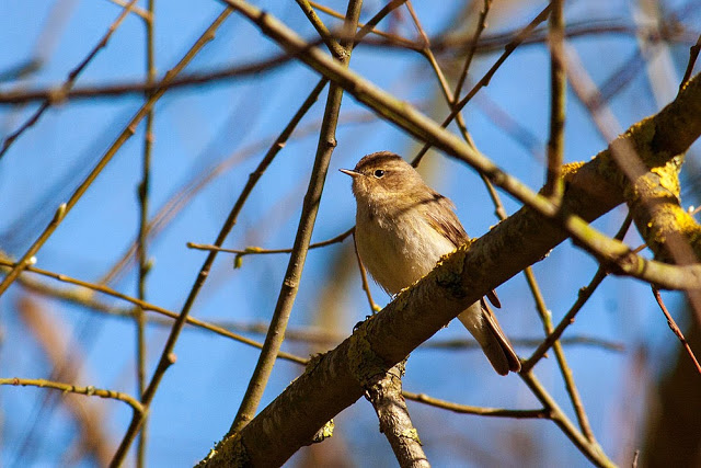 Chiffchaff - Lodge Lake, Milton Keynes = A Whole lot of Chiffchaffs