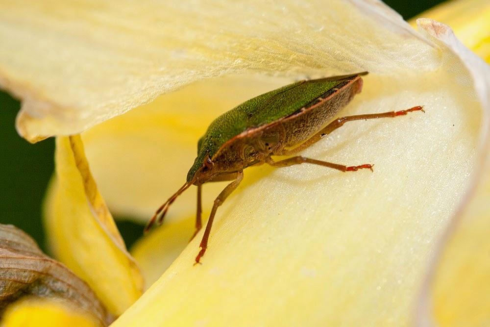 Common Green Shieldbug - Bradwell Village, Milton Keynes