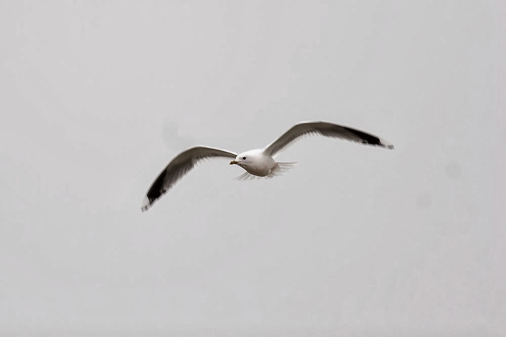 Common Gull in flight, Lodge Lake, Milton Keynes