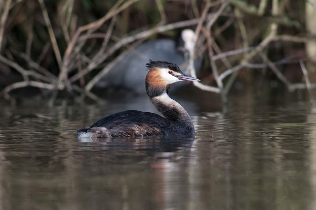 Hours Spent with Kingfisher and Great crested Grebes - Great-crested Grebe - Lodge Lake, Milton Keynes
