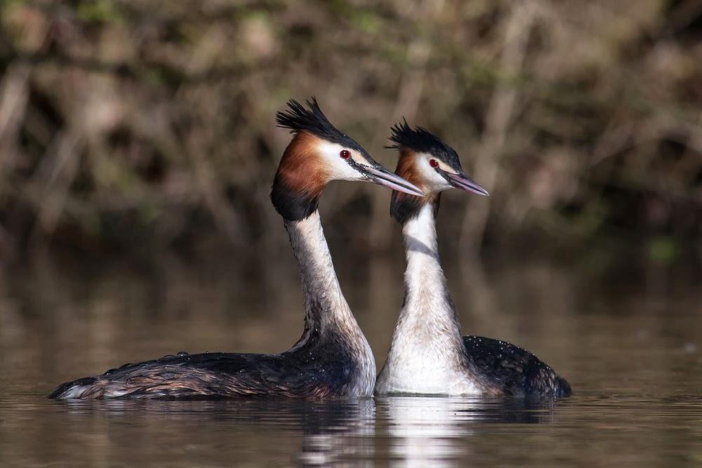 Great-crested Grebe Neck Dance - Lodge Lake, Milton Keynes
