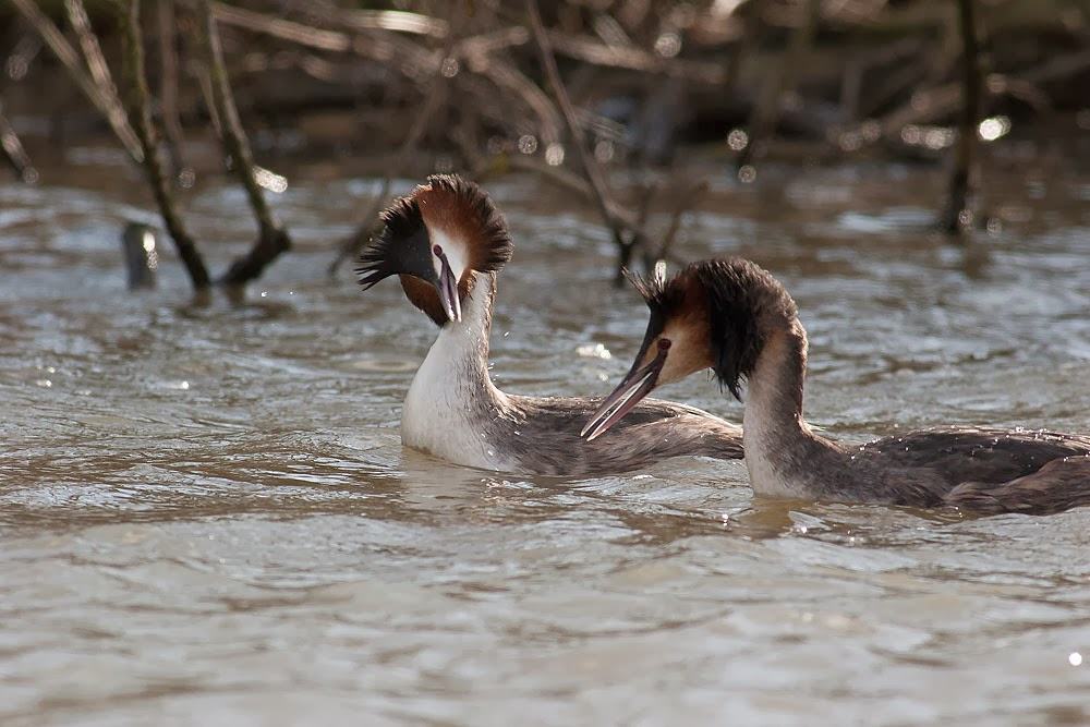 Great-crested Grebes searching for rival