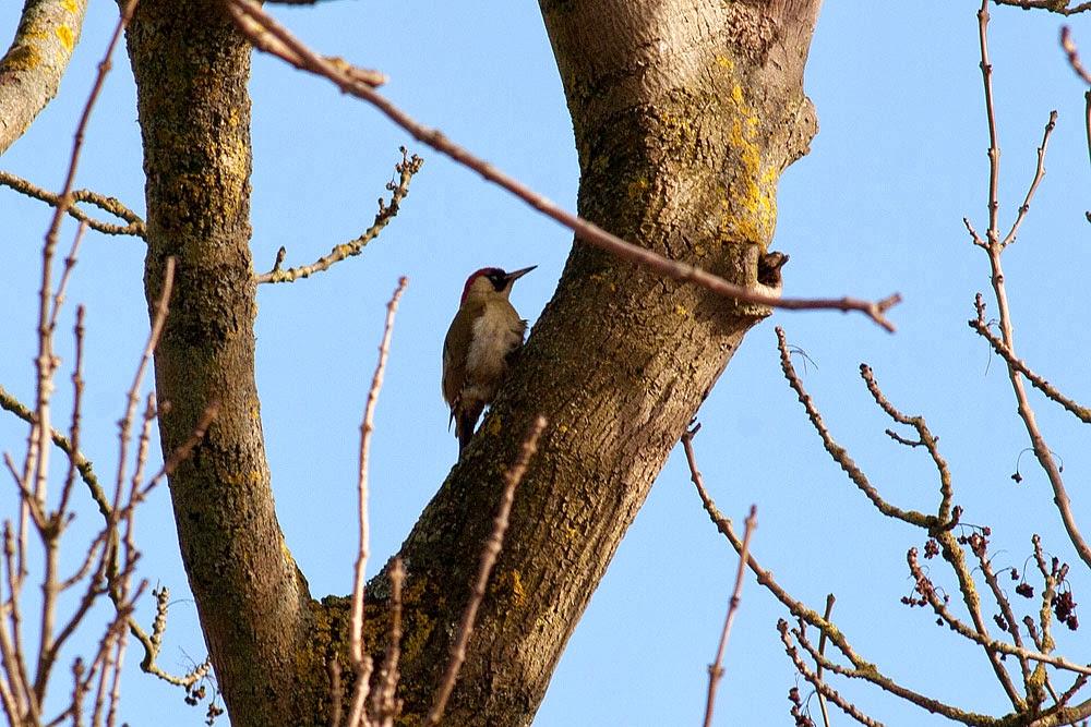 Green Woodpecker - Loughton Valley Park, Milton Keynes
