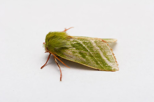 A Little About Moths - Green Silver-Lines