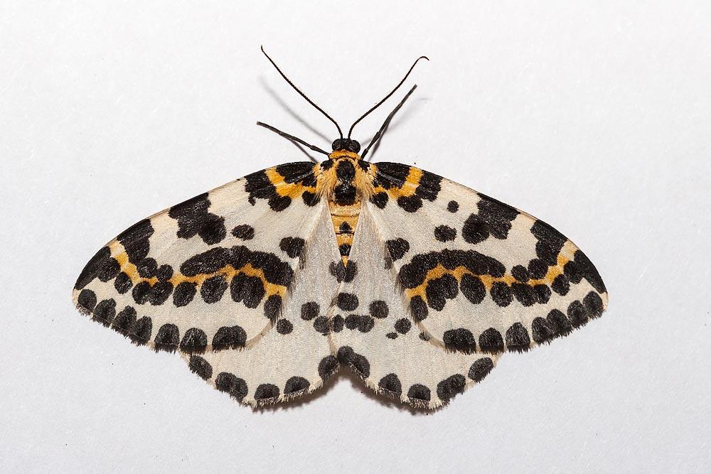 Magpie Moth - Milton Keynes