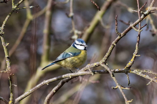 Blue Tit - One of the many birds that may come in if you areFeeding Wild Birds in Your Garden