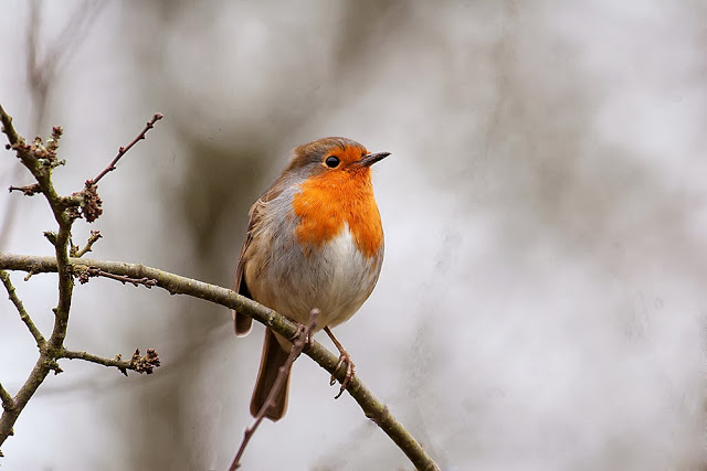 Robin another bird you will likely record if you are feeding wild birds in your garden