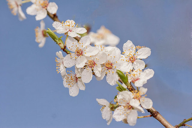 Blackthorn flower - Sometimes birds take a back seat