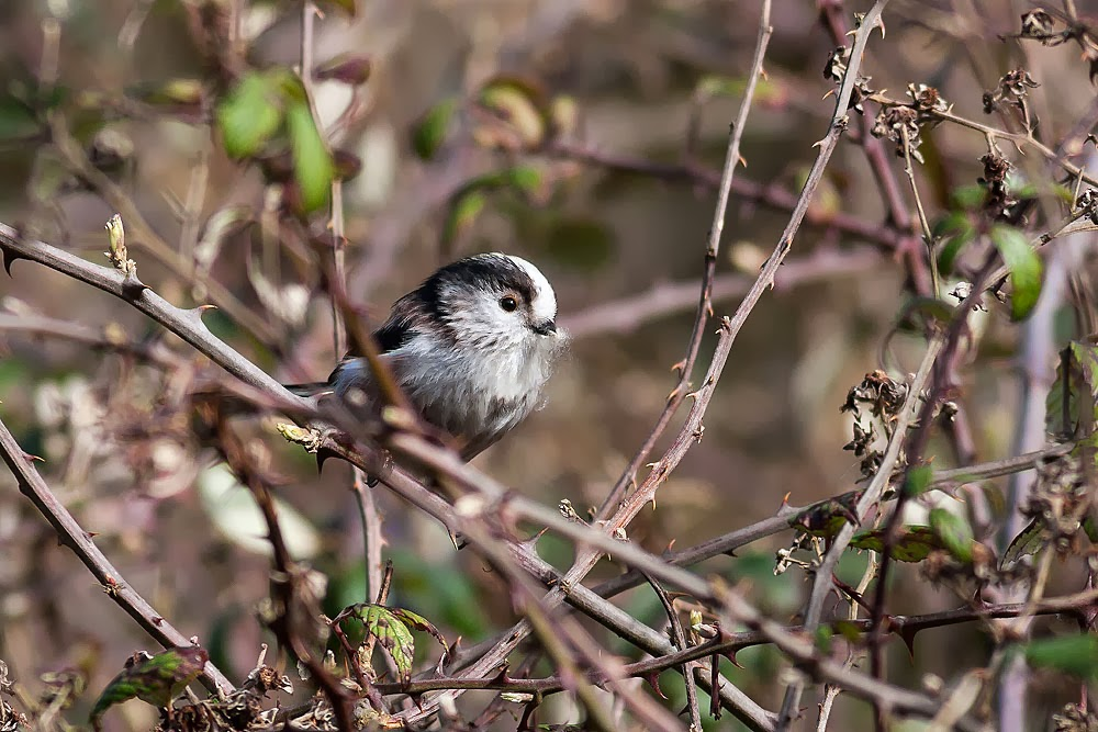 Same bird as above - One of the adult long tailed tit bringing in nesting material