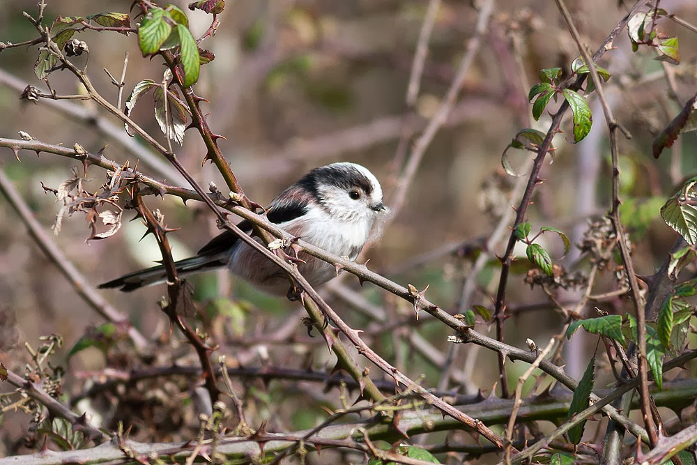 One of the adult long tailed tit bringing in nesting material