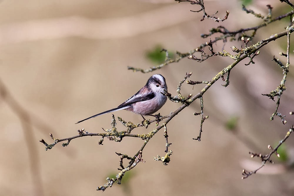 A Different Long-tailed Tit, photographed by Kam Tong Gardens resturant