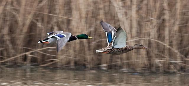 Birds in Flight - Mallards in flight - Lodge Lake, Milton Keynes