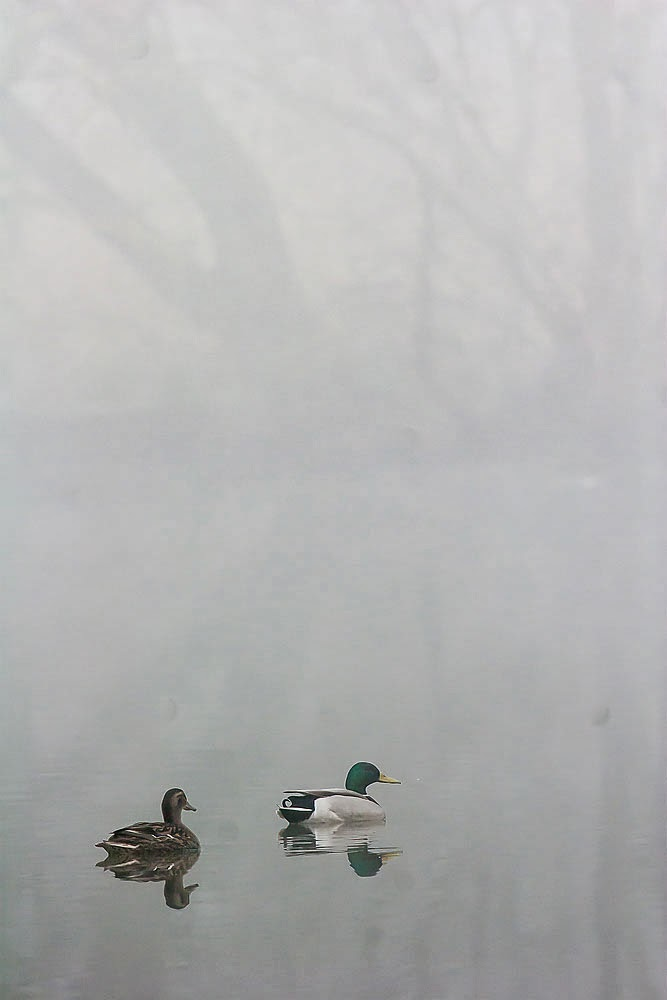 Mallards in the Mist