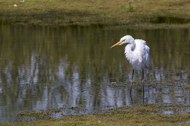 Great White Egret at Floodplain Forest Nature Reserve