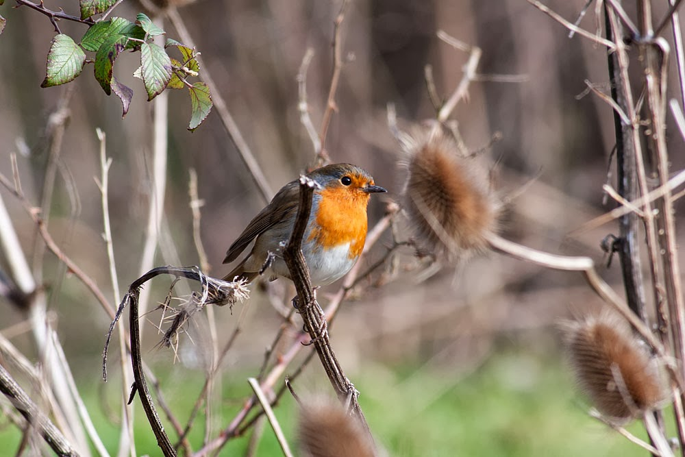 Eurasian Robin, Loughton Valley Park, Milton Keynes