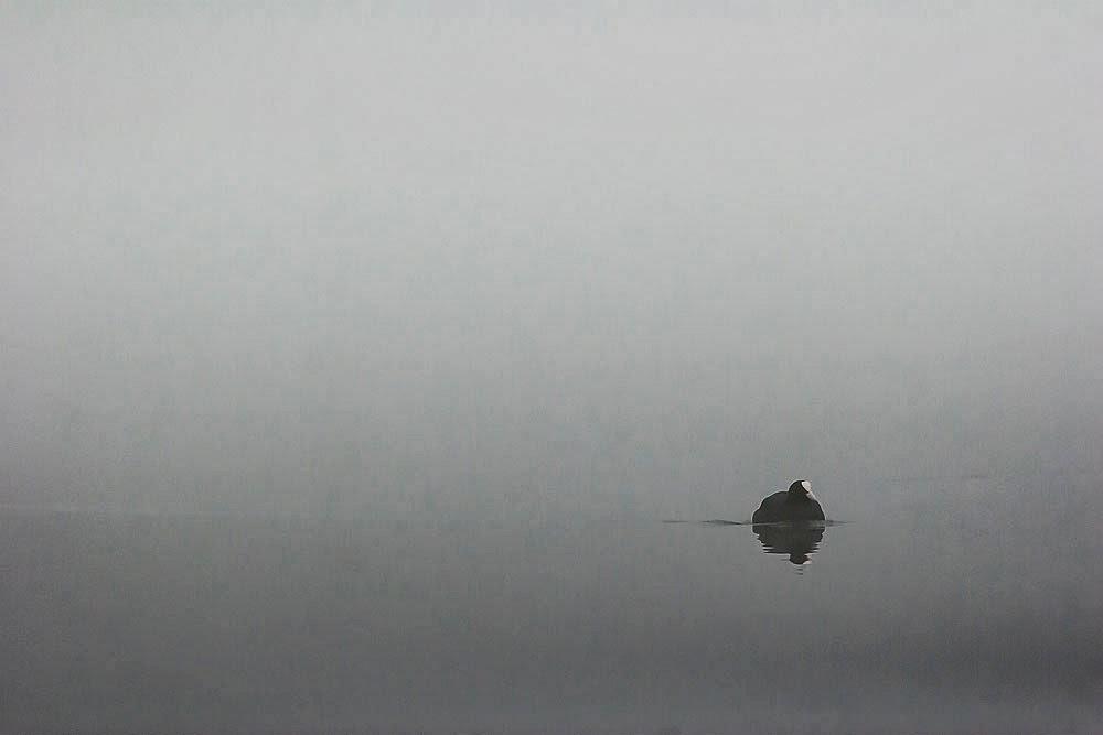 Coot in the mist - Lodge Lake, Milton Keynes