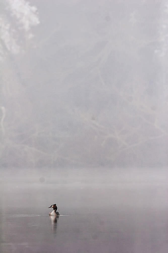 Great-Crested Grebe in the Mist - Lodge Lake, Milton Keynes