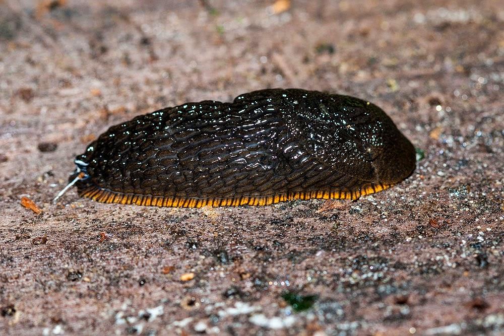 Large Red Slug (Arion rufus) - Loughton Valley Park, Milton Keynes