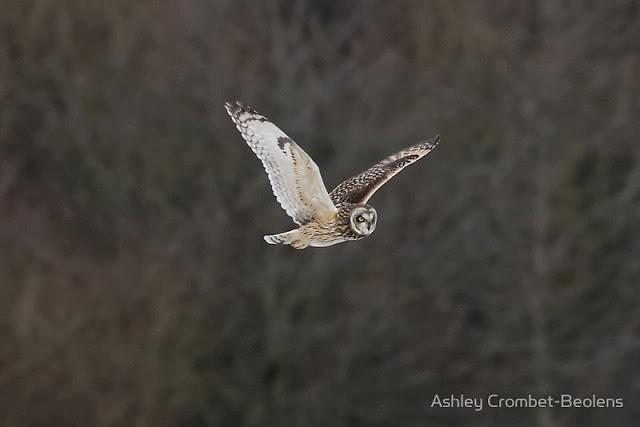 Wildlife Watching Supplies Bag Hide - Review - Short eared owl in flight
