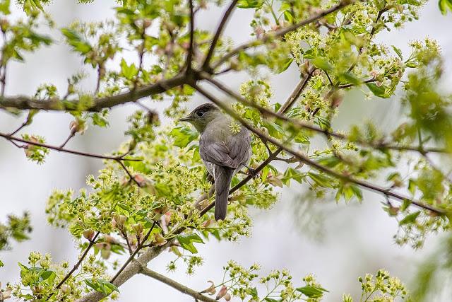 Blackcap - Warbler Photographs