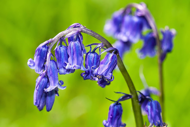 Bluebells - The Butterfly Effect
