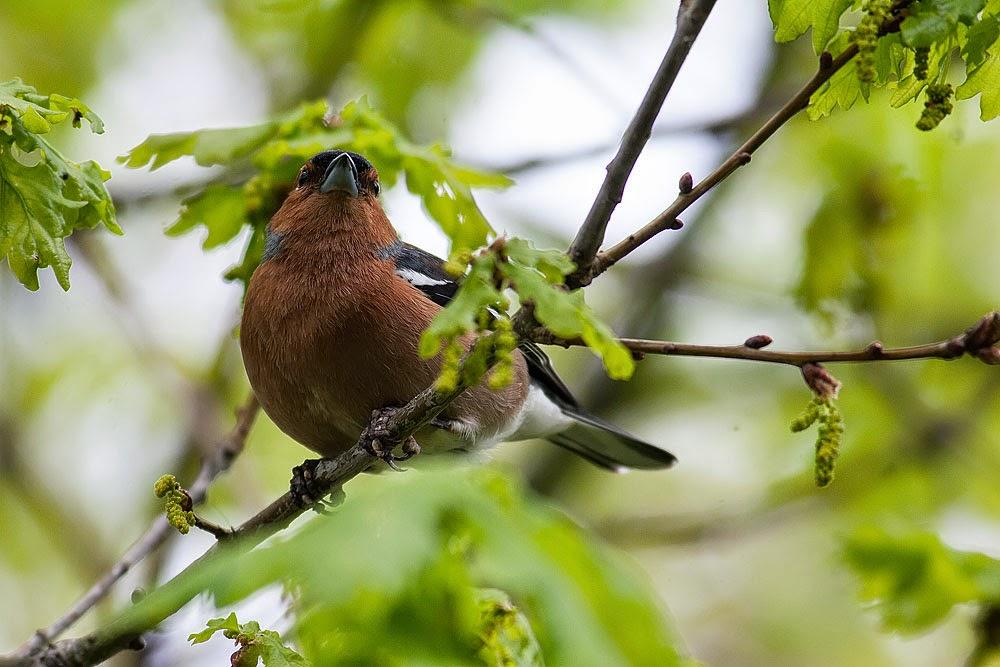 Chaffinch (male) - Lodge Lake, Milton Keynes