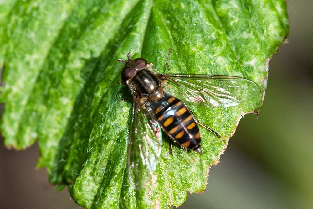 Marmalade Fly - Margate, Kent