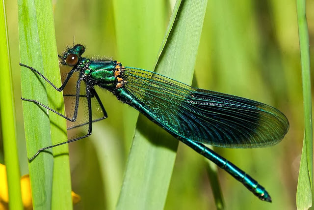 One of my own photographs of Banded Demoiselle
