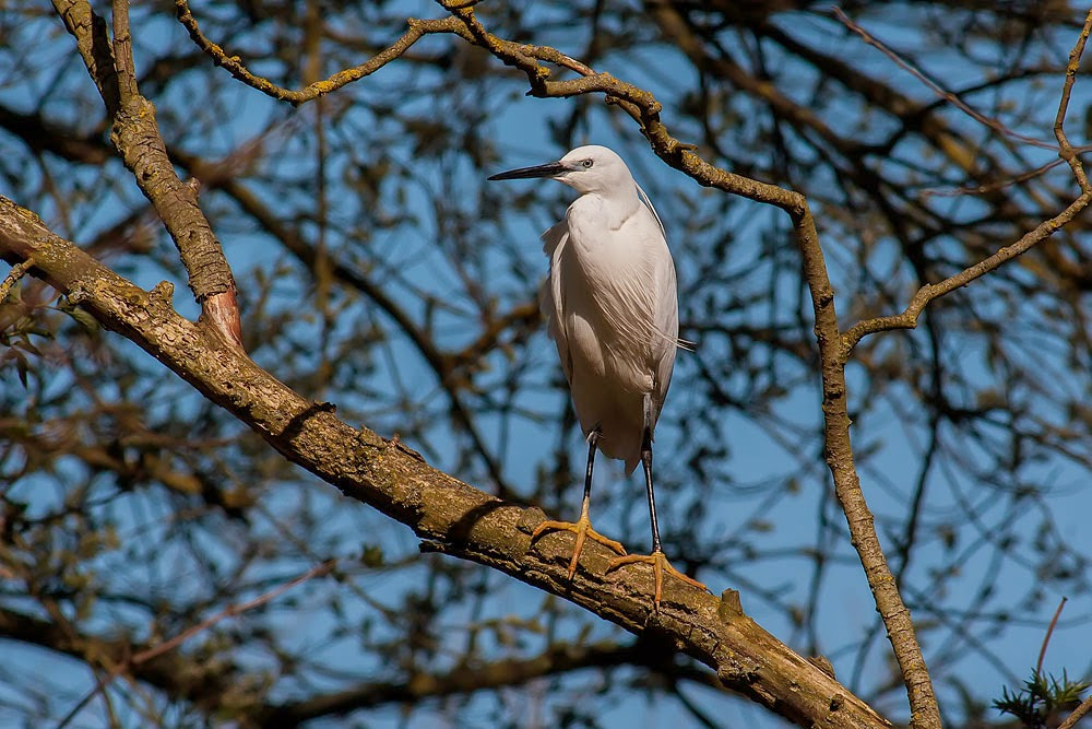 Little Egret, Bradwell Village, Milton Keynes March 2014