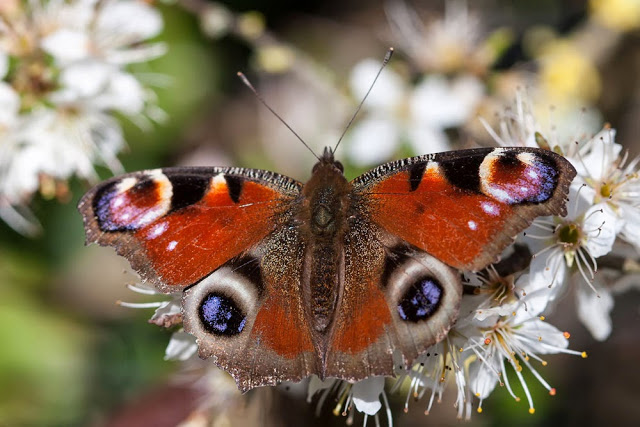 Peacock Butterfly emerged in March - March Review