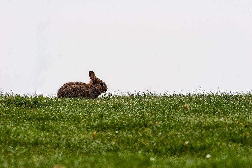 Rabbit - Dansteed, Milton Keynes 2014