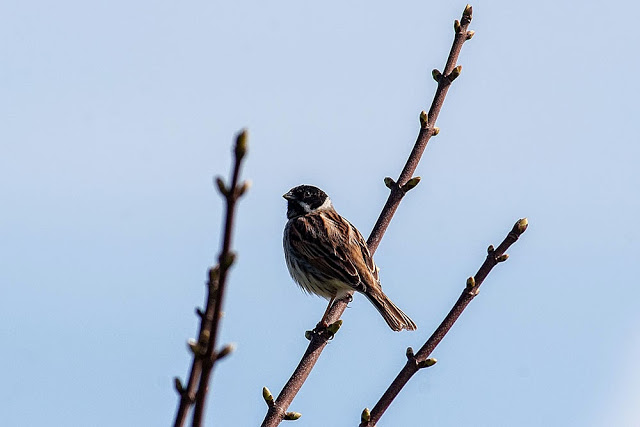 Reed Bunting - Pegwell Bay, Kent