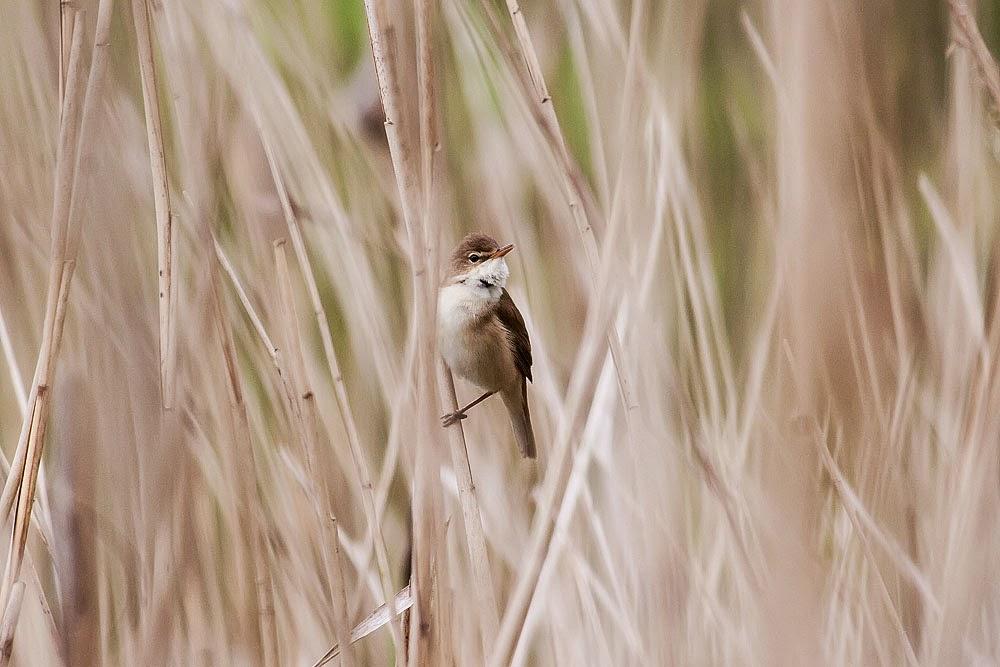 Reed Warbler - Lodge Lake, Milton Keynes