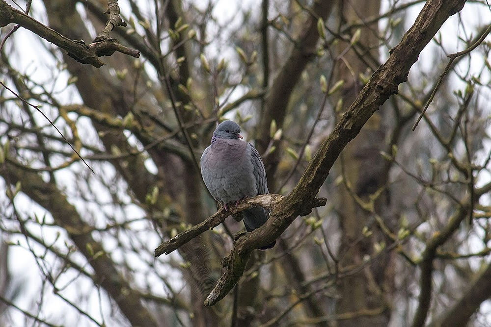 Stock Dove - Loughton Valley Park, Milton Keynes