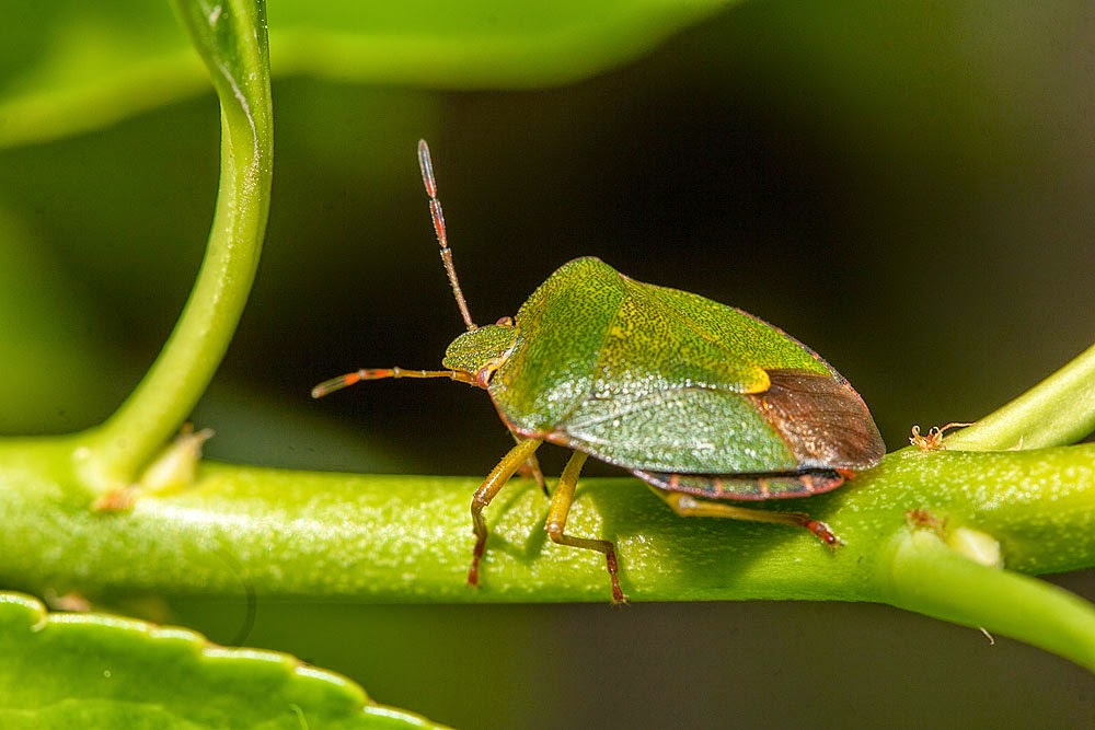 Common Green Shieldbug - Margate Kent