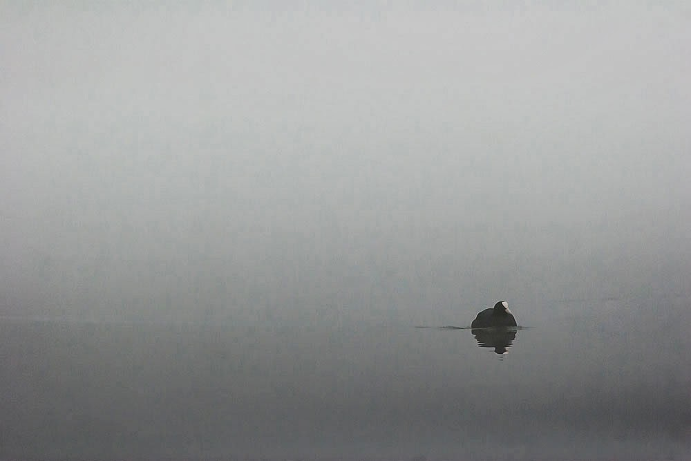 Coot in the mist, Lodge Lake, Milton Keynes March 2014