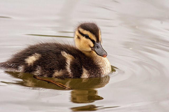 Mallard Duckling - Wanderings and Weekend Birds