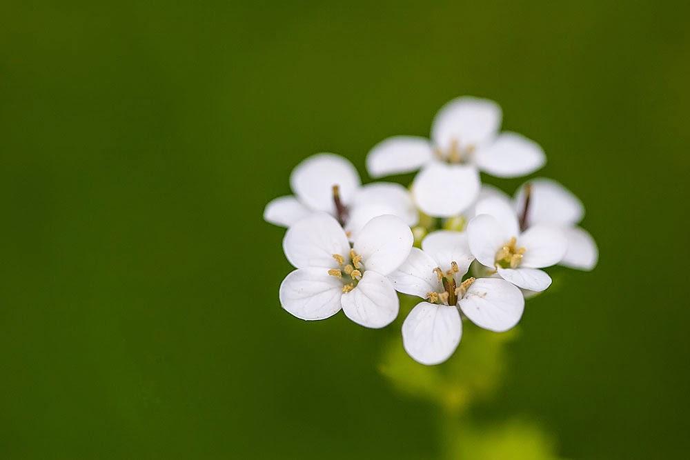 Unknown White Flower - Loughton Valley Park, Milton Keynes