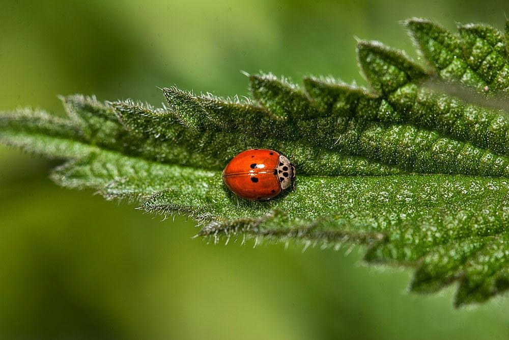 10 Spot Ladybird - Loughton Valley Park, Milton Keynes